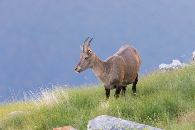 Female ibex perched on rock on the italian french alps.
