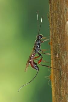 乾燥した茎に隠された毛虫に刺し傷を押し込んで産卵する雌のヒメバチ