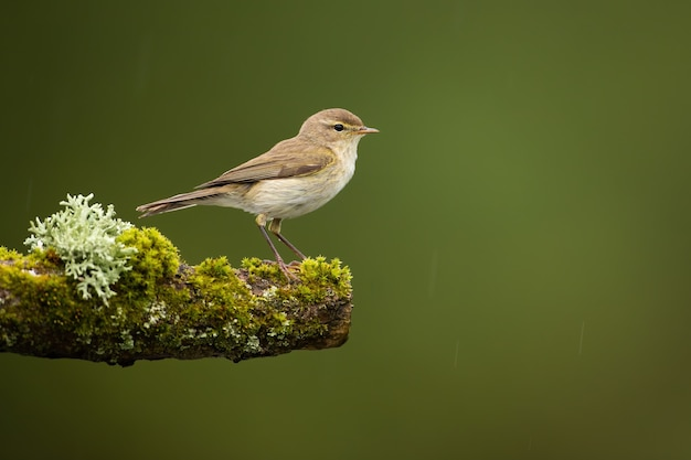 Female icterine warbler sitting on twig covered in green moss in summer nature.