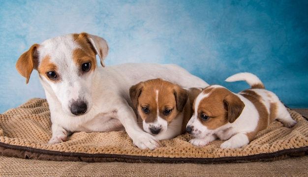 Джек-рассел-терьер сука с щенками на горизонтальном одеяле