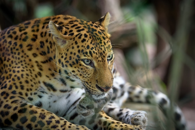 Female jaguar closeup portrait