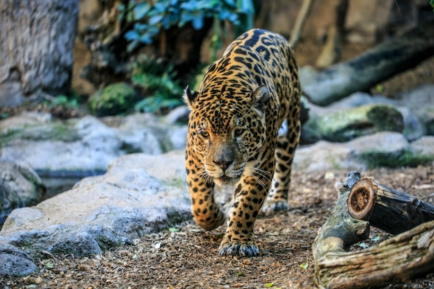動物園のメスのヒョウ