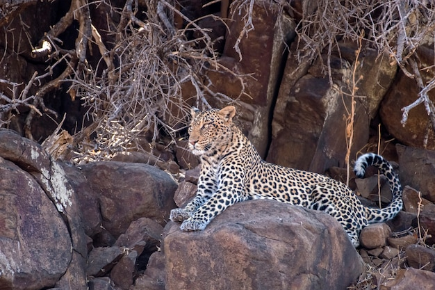 Женский леопард лежал на скалах