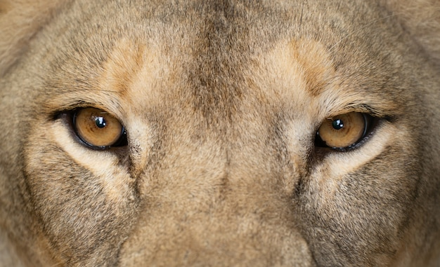 Female lion eyes close up
