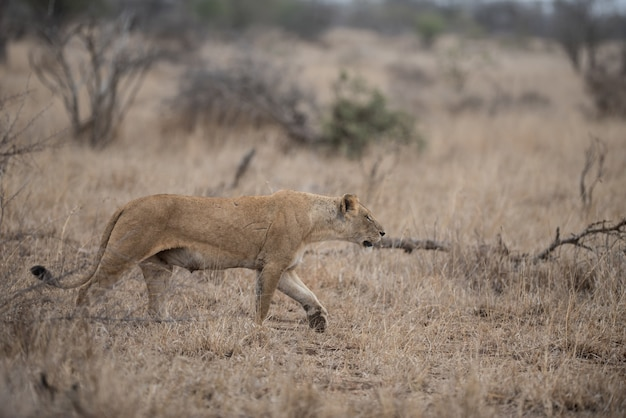 Самка льва, охотящаяся за добычей