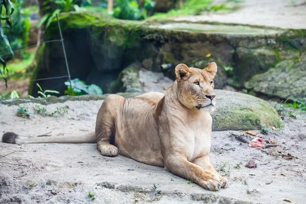 雌ライオン、地面に雌ライオン
