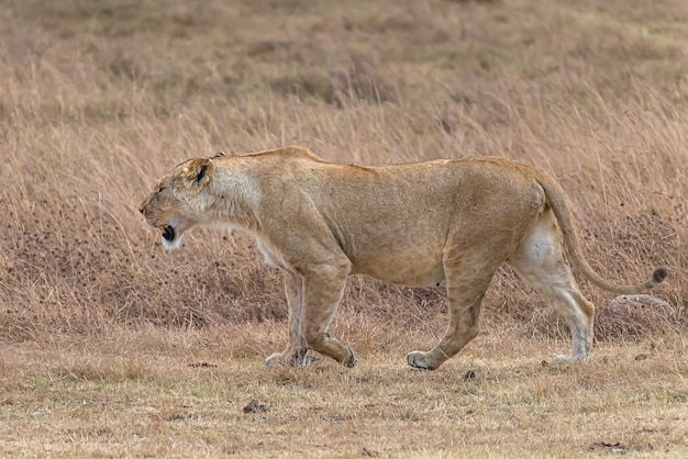 Female lion walking in a grassy field during daytime