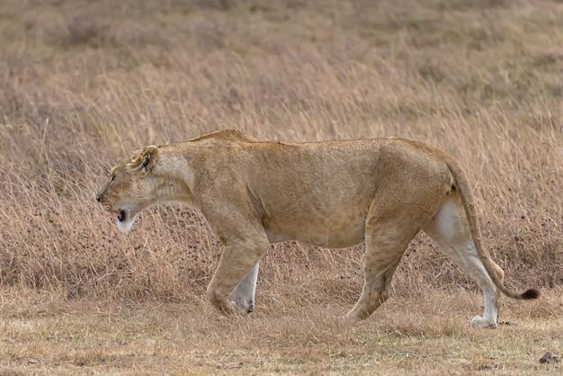 Leone femminile che cammina in un campo erboso durante il giorno