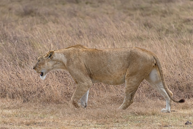昼間に芝生のフィールドを歩く雌ライオン