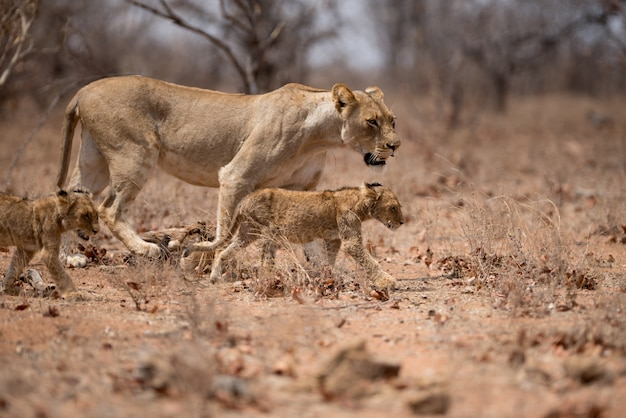 Female lion walking together with her cubs