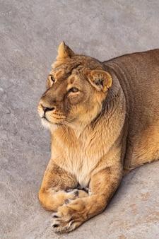 雌ライオン Premium写真