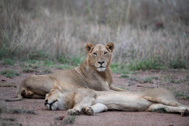 ぼやけた背景で地面に休んでいる雌のライオン