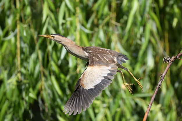 A female little bittern jumping from the branch on water