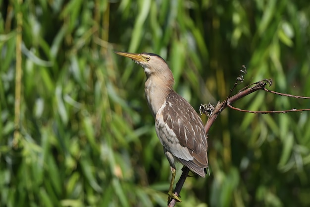 A female little bittern sits on the branch on water