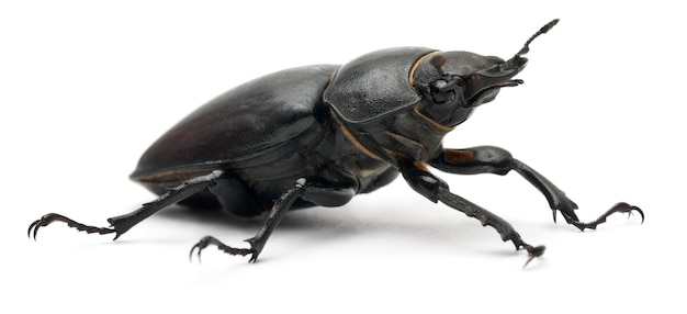 Самка lucanus cervus - самый известный вид жука-оленя