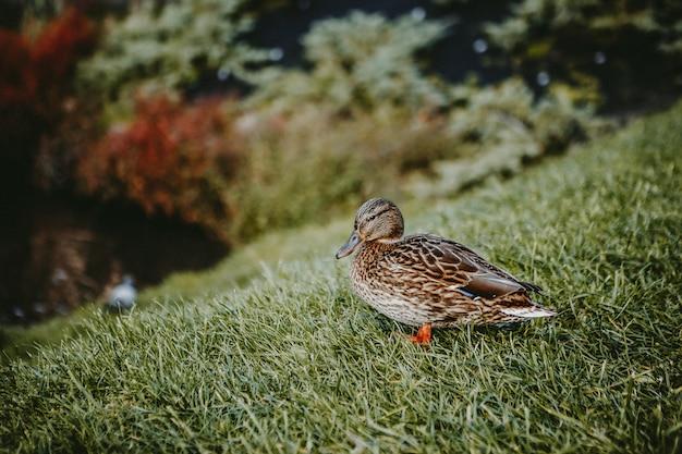 草の上に立っている女性マガモ