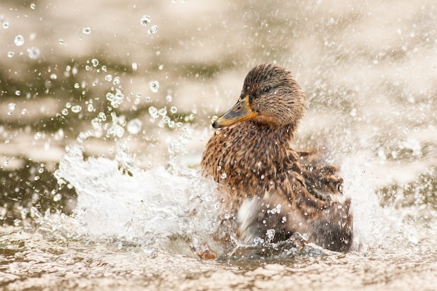 春の自然の中で翼で水をはねかけるメスのマガモ