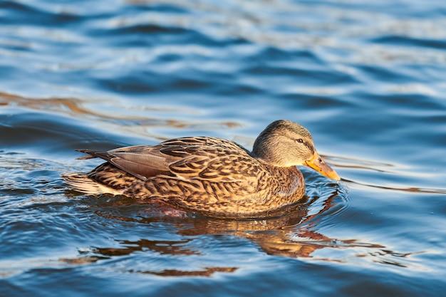 Самка водоплавающей птицы кряквы, плещущаяся в пруду или реке