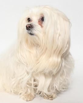 Самка мальтийской собаки на белом