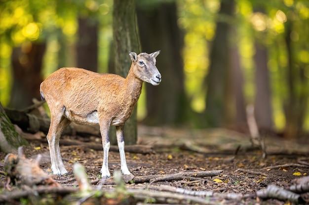 Наблюдение за самкой муфлона в лесу в осенней природе.