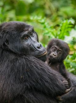 赤ちゃんと女性のマウンテンゴリラ。ウガンダ。ブウィンディ原生国立公園。