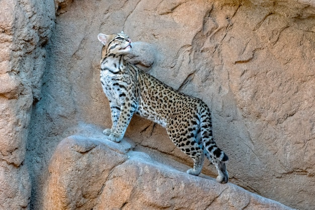 Female ocelot poised on the side of a cliff wall
