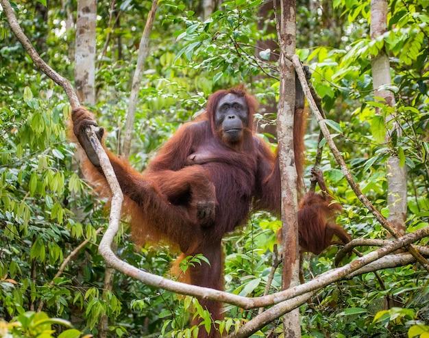 Самка орангутана с младенцем на дереве. индонезия. остров калимантан (борнео).