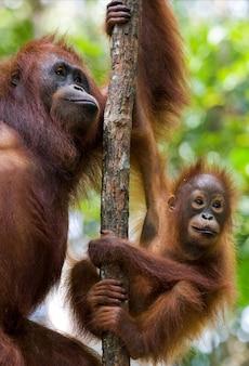 나무에 아기와 함께 오랑우탄의 여성. 인도네시아. 칼리만탄 섬(보르네오).