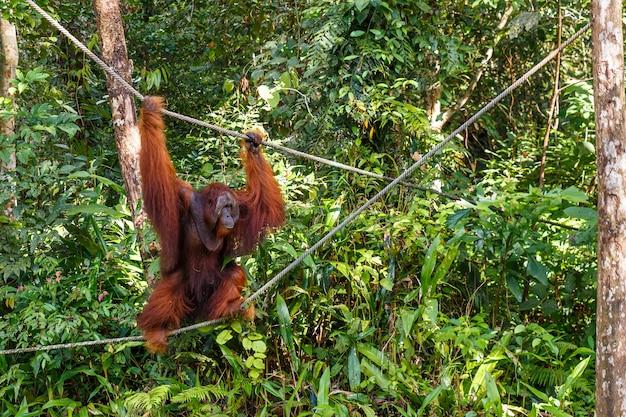 Female orangutan walks by ropes
