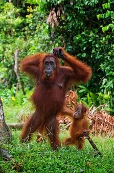 Самка орангутана с детенышем в дикой природе. индонезия. остров калимантан (борнео).