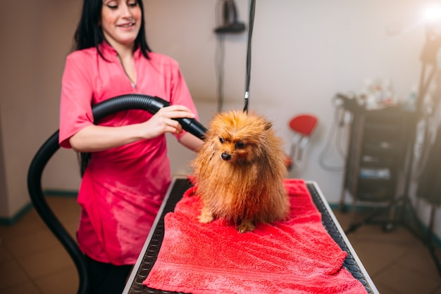 Female pet groomer dry dog fur with a hair dryer
