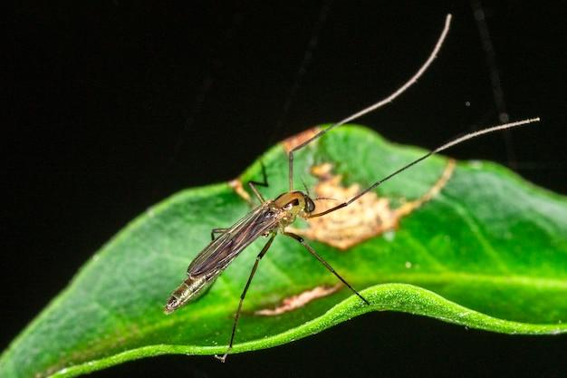 수컷 모기의 암컷 사진.
