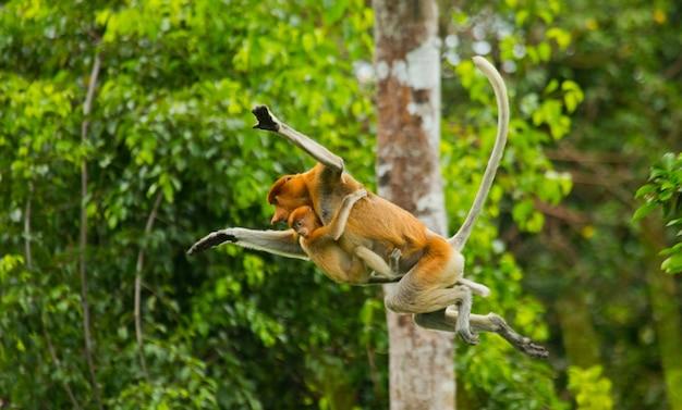 赤ちゃんと一緒の女性のテングザルは、ジャングルの中で木から木へとジャンプしています。インドネシア。ボルネオカリマンタン島。
