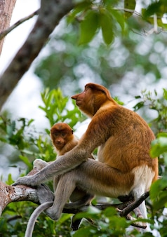 赤ちゃんと一緒に女性のテングザルがジャングルの木に座っています。インドネシア。ボルネオ島。カリマンタン。