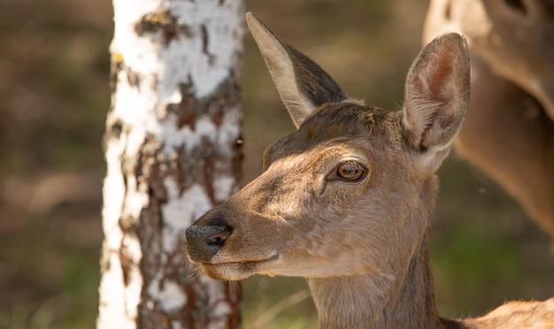 숲에서 여성 붉은 사슴입니다. 초상화, 클로즈업. 동물은 모피와 고기로 인해 가치가 있습니다.