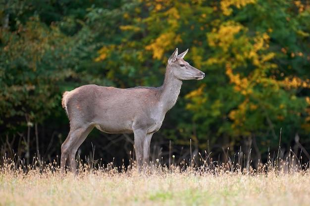 Самка благородного оленя в естественной среде