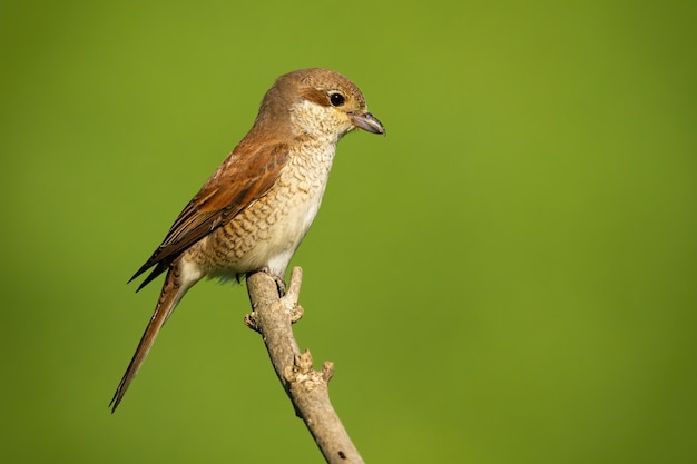 Female redbacked shrike sitting on branch with copy space