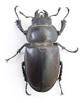 Самка красновато-коричневый жук-олень (lucanus capreolus), изолированные на белом фоне