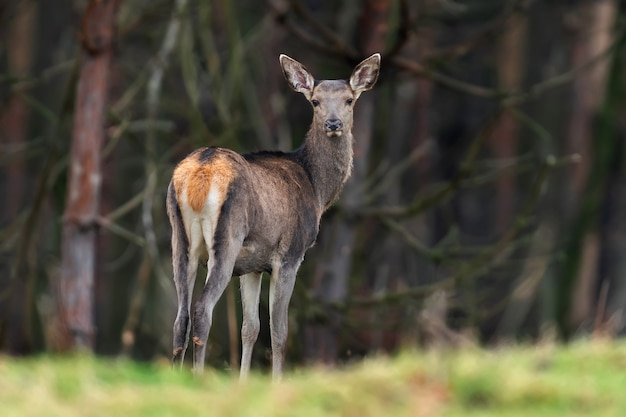 Female roe deer standing in autumn forest