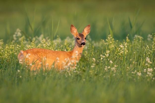 Самка косули, стоящая в полевых цветах в летнем свете