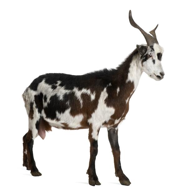 立っている雌のヤギ