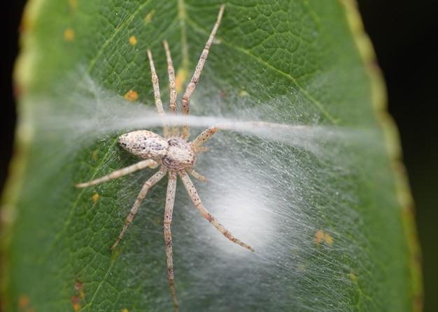 Female running crab spider (philodromus cespitum) with eggs