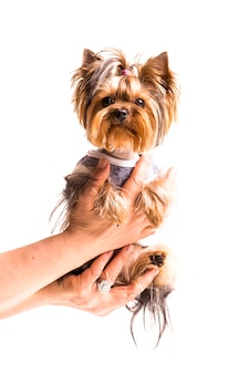 Female's hand holding cute yorkshire in hand