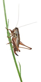 Female shield-back katydid - platycleis tessellata