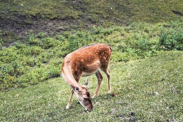 Самка пятнистого оленя ест траву
