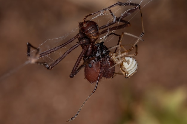 Female small brown widow of the species latrodectus geometricus preying on a ant of the genus atta