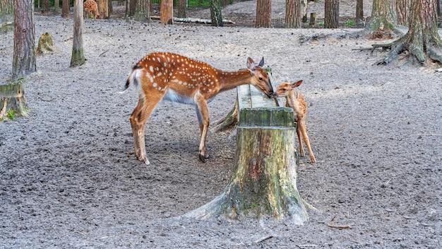 餌箱の近くに子鹿がいる雌の斑点のある鹿