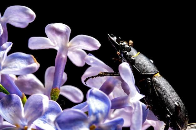 이른 봄에 꽃에 여성 사슴 벌레.