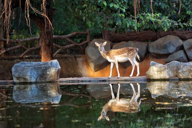 動物園の自然な雰囲気の中で女性スター鹿。