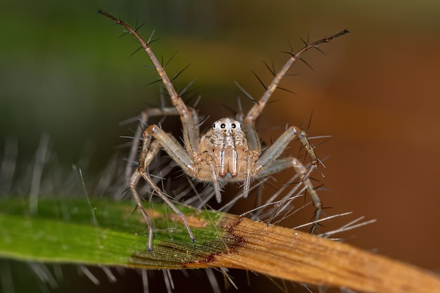 Female striped lynx spider of the genus oxyopes